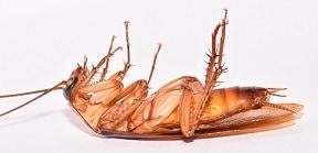 Dead American Cockroach