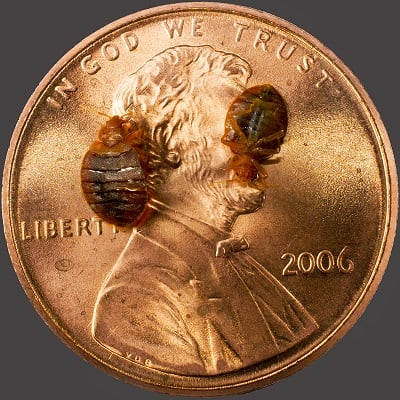 Bed bugs on penny