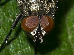 Cluster Fly eyes