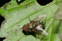 Cluster Fly on leaf