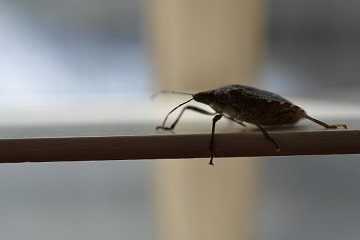 Stink Bug on window frame
