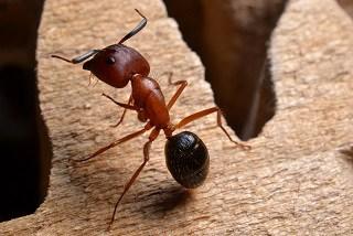 carpenter ant on wood