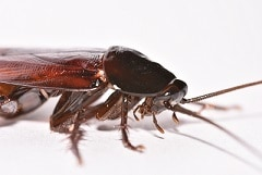 Smokybrown Cockroach