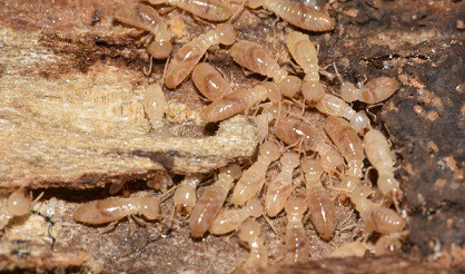 Worker termites foraging on wood
