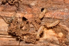 Worker termites on wood