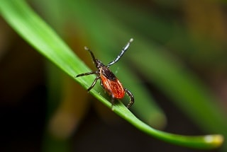 Blacklegged Tick control fleas
