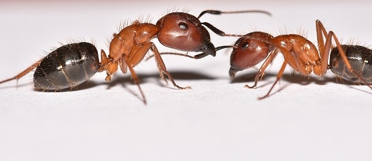 Two Carpenter ants