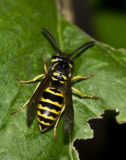 yellow jacket nest removal treatment